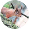 Red squirrel - a Pitscurry regular