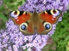 Peacock butterfly on the buddlea